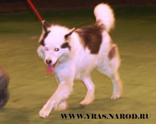 Породы ездовых собак - Собаки или все о собаках на