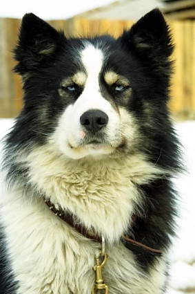 Якутская лайка активная,резвая,любознательная собака,имеет дружелюбный и...